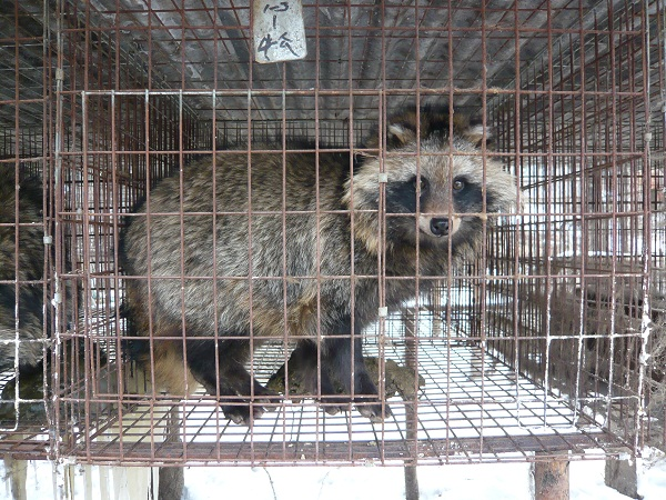 China-Fur-Investigation-male-raccoon-dog